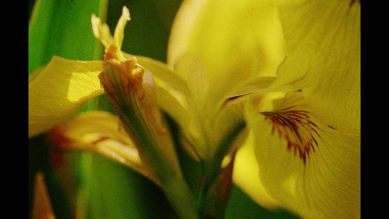 Guenter Westphal Wasserlilie