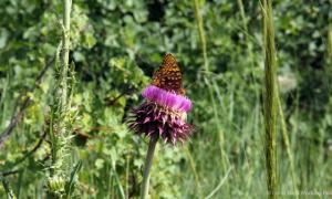 MIN 166 Colorado Wildflowers_butterfly_s