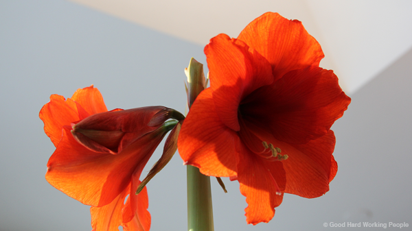 Amaryllis Time Lapse – In A Colorado Minute (Week 193)
