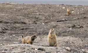 MIN 203 Prairie Dogs_s