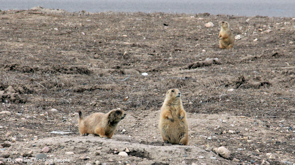 Prairie Dogs – In A Colorado Minute (Week 203)