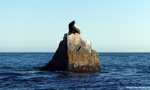 Lands End Baja California_Sea Lion_MIN 310_s