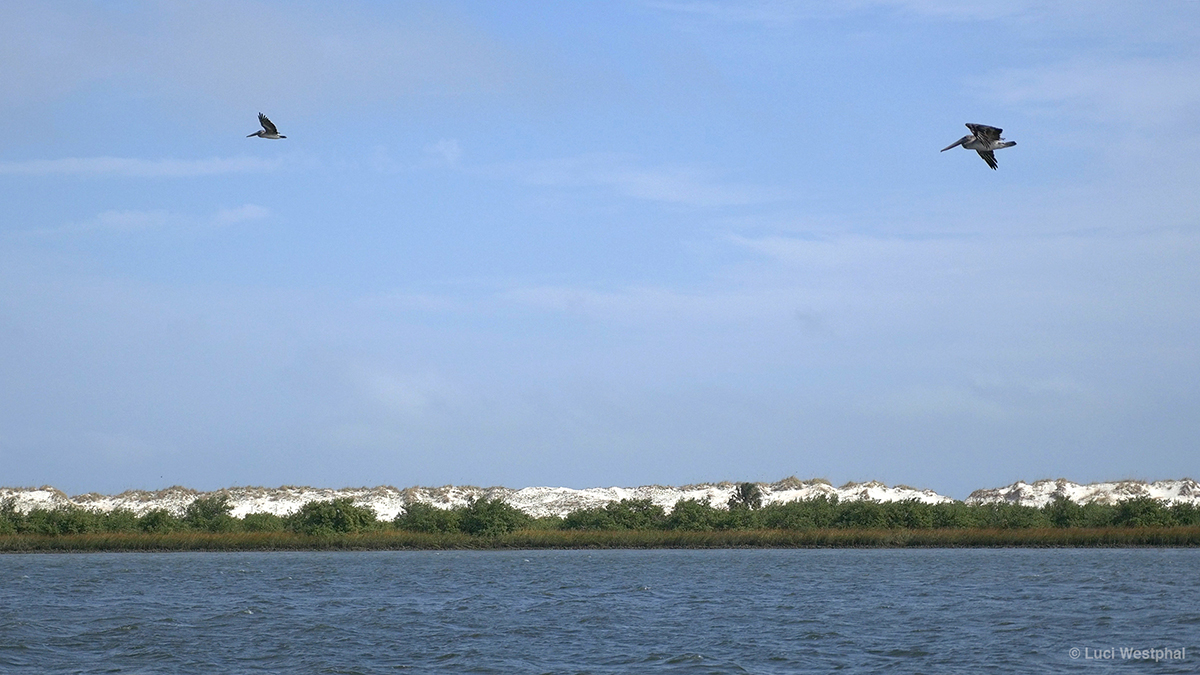 anastasia-island_min-342_02_main_pelicans_s