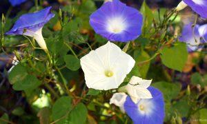 moonflower_min-340-moonflower_01_full-bloom_s