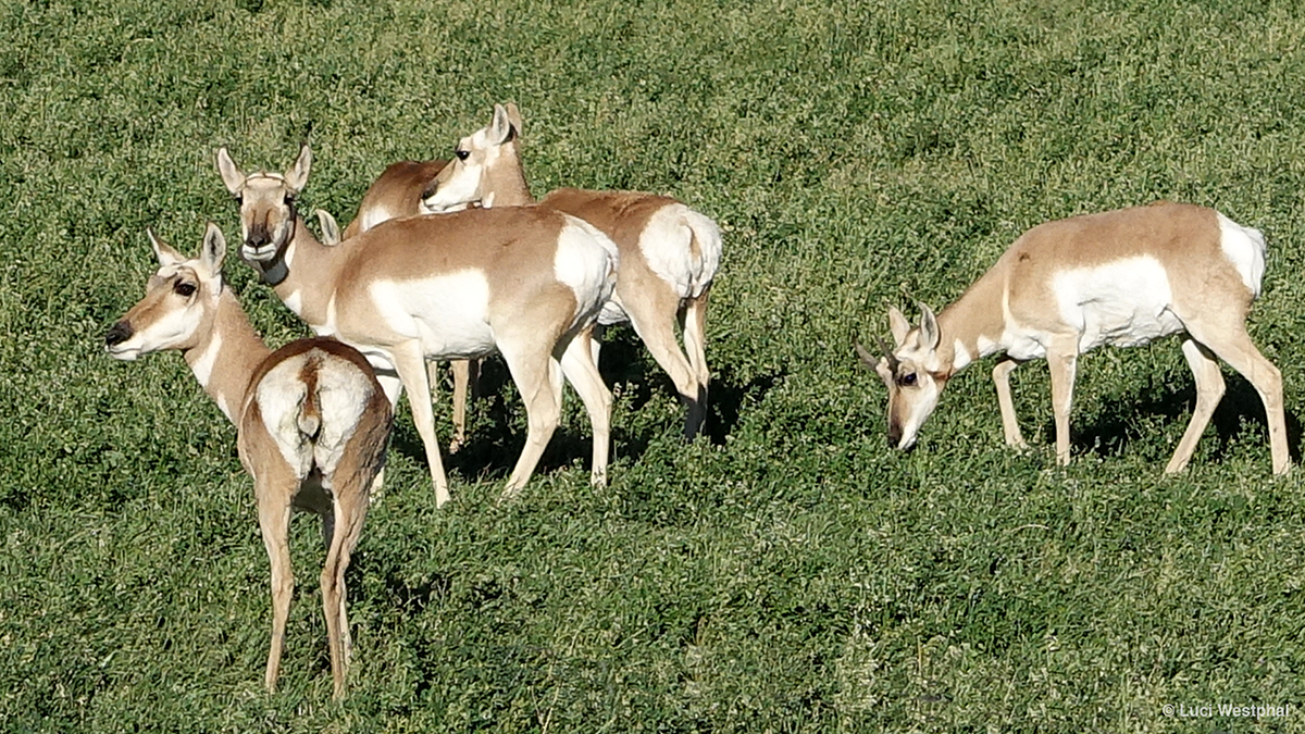 Colorado Wildlife_MIN 351_02_antelope_s