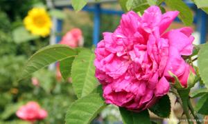 MIN_169 Muttis Garten_Rose de Resht_s