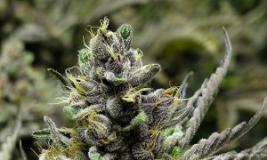 MIN 257_Marijuana Strains_Purple Diesel_s