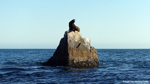 Lands End Baja California_Sea Lion_MIN 310_s